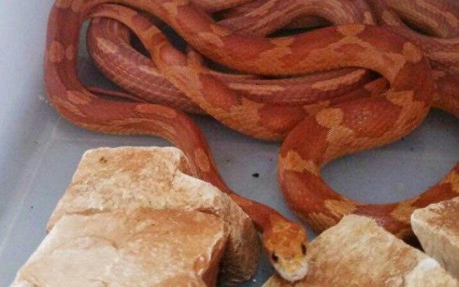 Cobras exóticas da espécie Corn Snake foram achadas em caixa nos Correios em Londrina